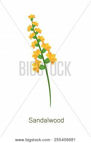 Sandalwood Poster Title And Headline, Blooming Branch Of Buds Banner With Title, Herb With Yellow Fl