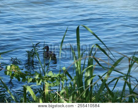 A Mallard Duck Casually Swims Away From The Shoreline Where He Had Been In The Shade From A Tree At