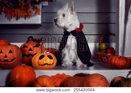 Funny West Highland White Terrier Dog In Scary Halloween Costume And Black Dracula Cloak Sitting Out