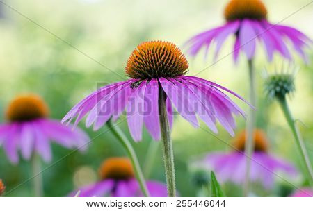 Echinacea Purple. A Perennial Plant Of The Asteraceae Family. Medicinal Flower To Enhance Immunity.
