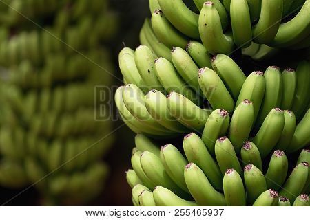 Banana palms plantation,bunches of green bananas on a branch of banana palm, unripe already large fruits poster
