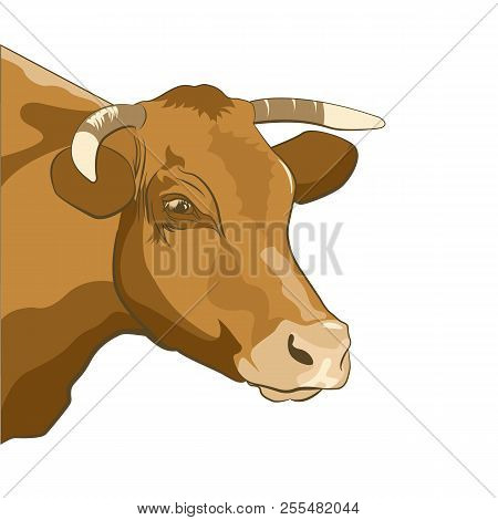 Portrait Of A Brown Cow On A White Background