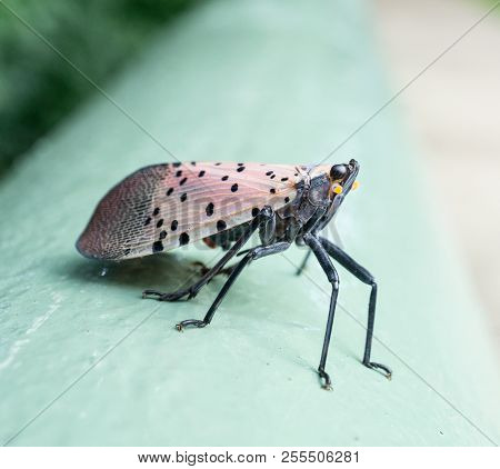 Spotted Lantern Fly Or Sits On A Fence, Berks County, Pennslvania.