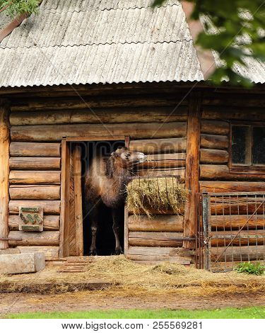 Camel In A Wooden House At The Zoo Eating Hay