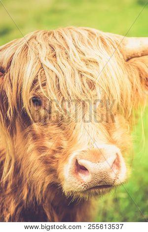 Funny And Beautiful Hairy Highland Cow, Scottish Symbol