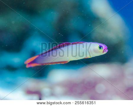 Fish Nemateleotris Decora - Elegant Firefish, Saltwater