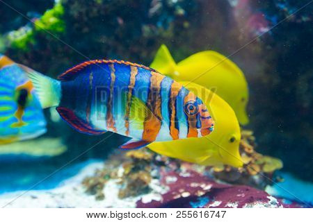 Fish Choerodon fasciatus - Harlequin tuskfish, saltwater poster