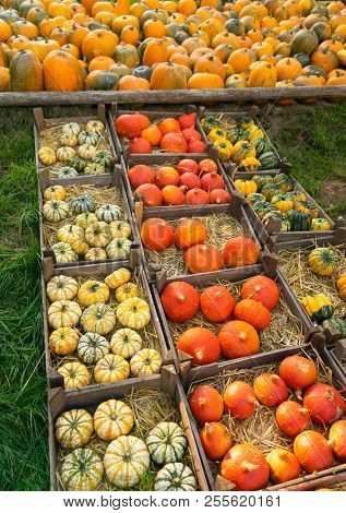 Rows Of Harvest Pumpkins In Crates At Pumpkin Patch