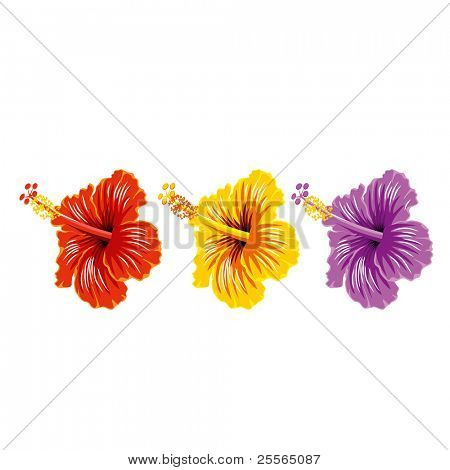 Vector set of hibiscus, beautiful tropical flowers. Isolated on white.