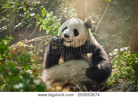 Chinese tourist symbol and attraction - giant panda bear eating bamboo. Chengdu, Sichuan, China
