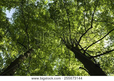 Green Foliage This Sides The Sky. Beech Wood In Spring.