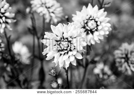 Dahlia Blossom On Blurred Natural Background. Dahlia Flowers In Green Garden. Blossoming Flowers Wit