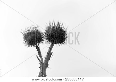 Dry Flowers Of Spine Plant On White Sky Background. Wild Thorn Plant Outdoor. Flora And Nature. Defe