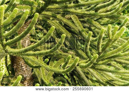 Close-up Of Green Thorny Branches Of A Araucaria (araucaria Araucana) Tree On A Sunny Day.