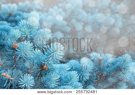 poster of Winter landscape. Blue pine tree branches under winter snowfall, closeup of winter nature, free space for text. Winter background with falling snow, winter branches of blue pine tree. Winter nature