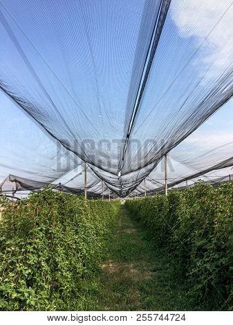Anti-hail Nets To Protect Crops From Hail Can Also Reduce Sudden Temperature Changes And Possible Gu