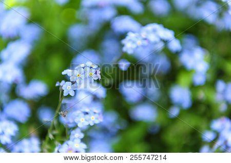 carpet of Myosotis sylvatica the blue flower poster