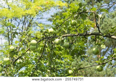 Apple Tree Branch With Hanging Green Apples, Apple Orchard, Plants, Fruits
