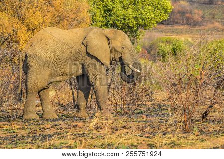 A Lonely Bull Elephant Grazing In Pilanesberg National Park , North West Province Near  Gauteng