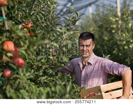 Farmer Harvesting Apples In Orchard