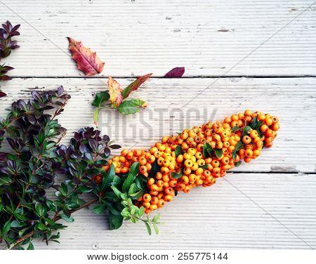 Beautiful Autumn Still Life With Hippophae Rhamnoides, Hippophae, Sea Buckthorn. Nice Medicinal Berr