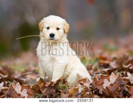 Hey, Look At Me, A Golden Puppy With Straw