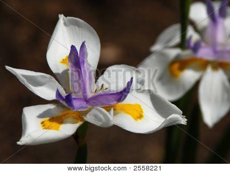 African Iris  Close Up 2