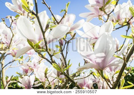 Magnolia Tree With White Flowers In The Summer Sun And Blue Sky