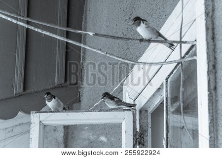 Swallow Bird On The Window, Black And White Photo, Shallow Depth Of Field, Selective Focus