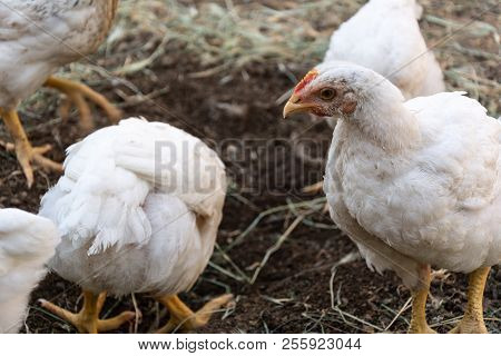 Home And Broiler Chicken. Mixed Breed Of Chickens.
