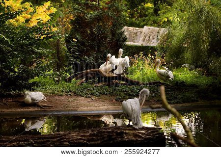 Pelicans At The Pond In The Summer Zoo