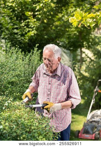 Old Man Trimming Hedge In Garden