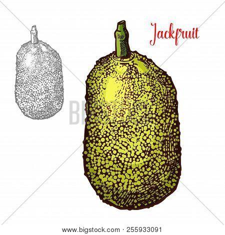 Jackfruit Exotic Fresh Fruit Vector Design. Fresh Exotic Fruit Jackfruit Hand Drawn Image. Exotic Tr