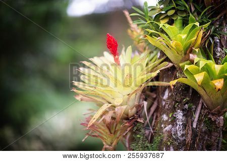 Beautiful Bromeliaceae In Tropical Garden In Martinique. Tropical Balata Garden In Martinique