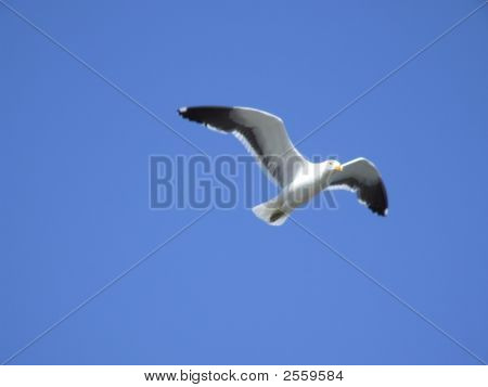 Flying seagull against a bright blue sky poster