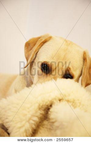 Labrador Goes Shy