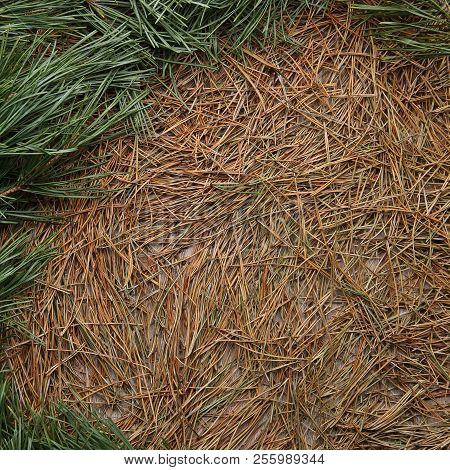 Dried Pine Needles Texture Background With Border Of Green Pine Branches. Abstract Pine Needles Fall