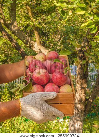 Men's Hands Harvest Apples