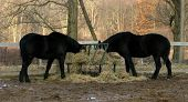 Two beautiful black horses feed on hay oblivious it would seem to the sunlit forest beyond the fence. poster
