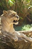 An intimidating look at a proud lioness poster