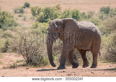 An African Elephant (loxodonta Africana) Walking Amidst Shrubs In Pilanesberg Game Reserve, South Af