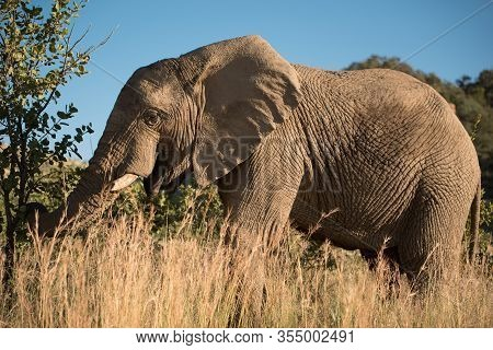 An African Elephant (loxodonta Africana) Grazing Amidst The Tall Grass And Shrubs In Pilanesberg Gam