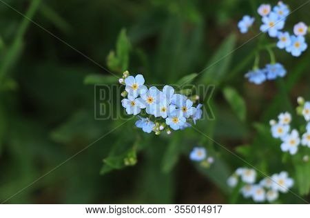 Wonderful Myosotis Sylvatica Between High Grass. Group Of Wood Forget-me-not In The Middle Of Meadow