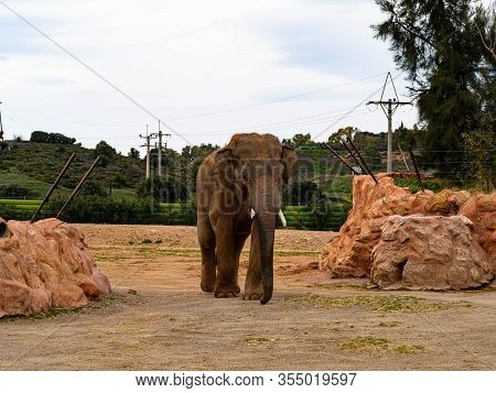 Athens, Greece, March 2nd 2020: A Large Elephant With Small Tusks Walks Towards The Viewer