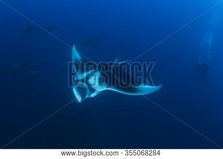 Manta Ray and couple scuba diving