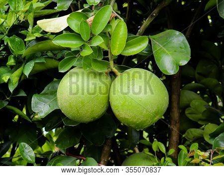Pomelo Fruit In The Tree. Helthy Green Pomelo Fruit