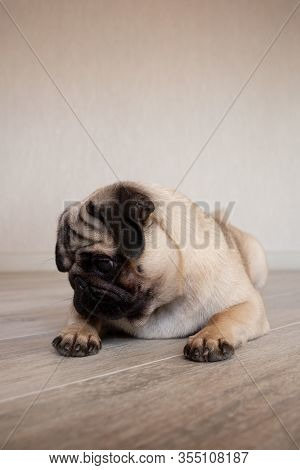 Adorable Pug Looking Away While Being Unsure And Laying In Floor