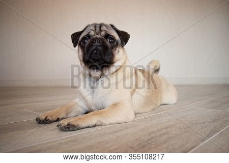Cute Expression Pug Dog, Pug Lying On The Floor In Room And Looking At Camera