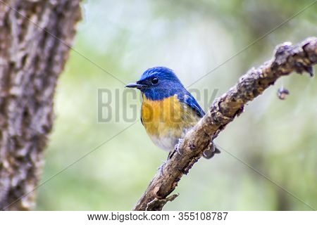 Hill Blue Flycatcher (cyornis Banyumas) In Tropical Forest, Thailand