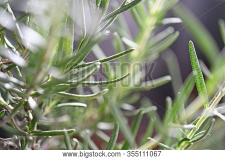 Close-up Of Fresh Green Rosemary Rotation On Black Background